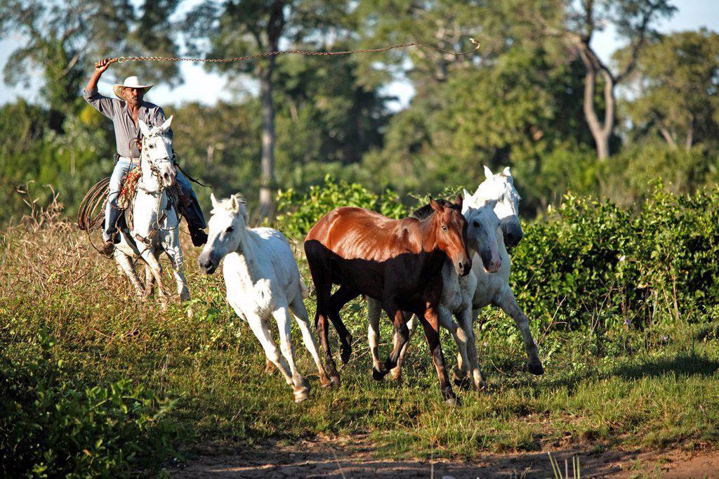 Stock Photo: 4133-30527 Pantanal Cowboy,Pantaneiro,Horse,Pantaneiro Horse,Pantanal,Brazil. Pantanal Cowboy,Pantaneiro,Horse,Pantaneiro Horse,Pantanal,Brazil,riding