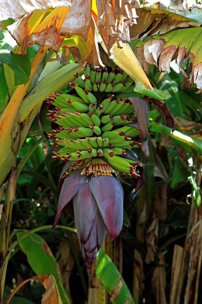 Stock Photo: 4133-30545 Banana Plant,Musa x paradisiaca,Roatan,Honduras,Caribbean,Central America,Latin America. Banana Plant,Musa x paradisiaca,Roatan,Honduras,Caribbean,Central America,Latin America,young fruits on bush