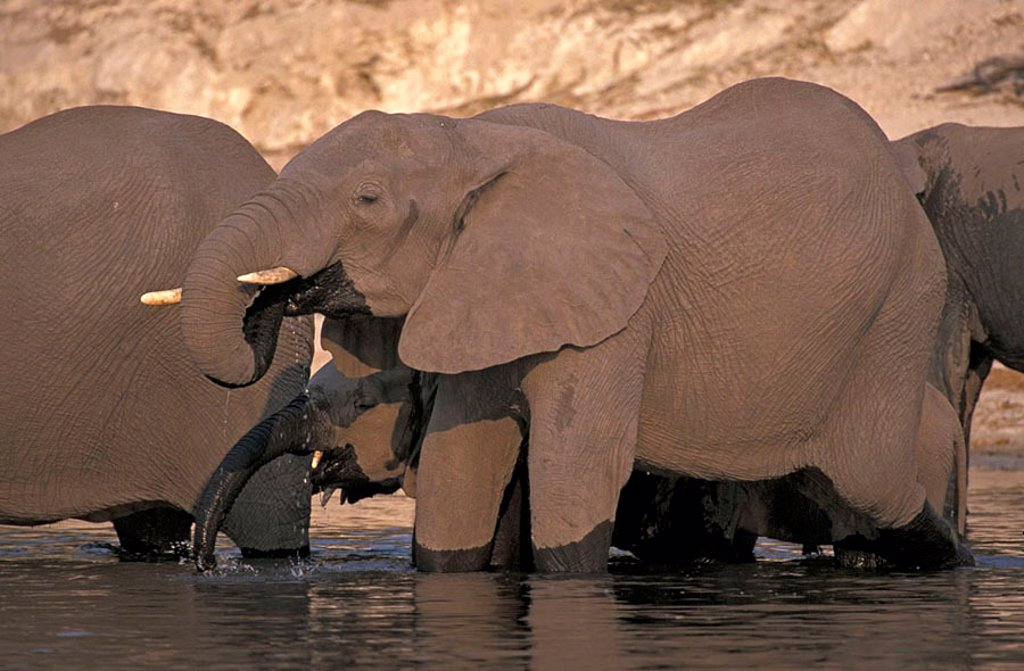Stock Photo: 4133-3086 African Elephant Loxodonta africana Chobe Nationalpark Botswana Africa