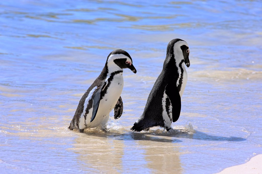 Stock Photo: 4133-30884 Jackass Penguin, Spheniscus demersus, Boulder, Simon´s Town, Western Cape, South Africa, Africa. Jackass Penguin, Spheniscus demersus, Boulder, Simon´s Town, Western Cape, South Africa, Africa, couple at beach