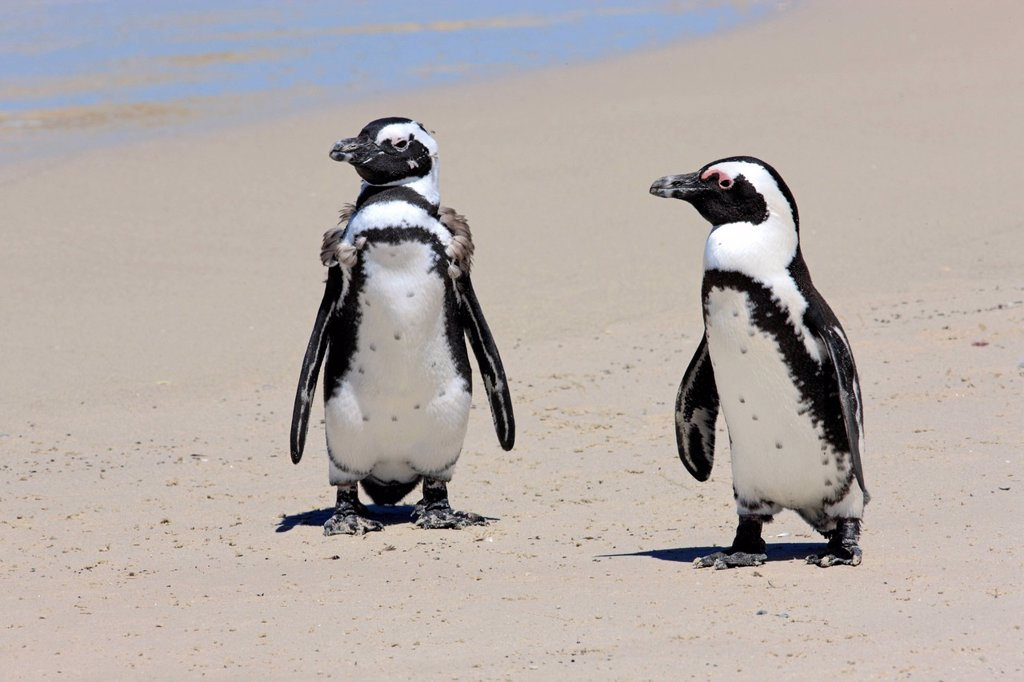 Jackass Penguin, Spheniscus demersus, Boulder, Simon´s Town, Western Cape, South Africa, Africa. Jackass Penguin, Spheniscus demersus, Boulder, Simon´s Town, Western Cape, South Africa, Africa, subadults at beach : Stock Photo