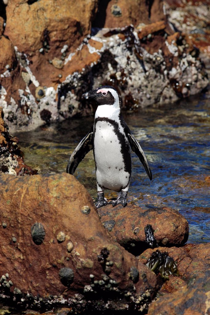 Stock Photo: 4133-30916 Jackass Penguin, Spheniscus demersus, Betty´s Bay, Western Cape, South Africa, Africa. Jackass Penguin, Spheniscus demersus, Betty´s Bay, Western Cape, South Africa, Africa, adult on rock