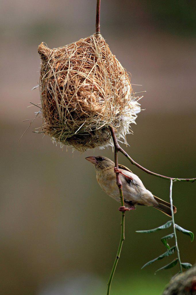 Stock Photo: 4133-30978 Masked Weaver, Ploceus velatus, Oudtshoorn, Klein Karoo, South Africa, Africa. Masked Weaver, Ploceus velatus, Oudtshoorn, Klein Karoo, South Africa, Africa, adult female at nest