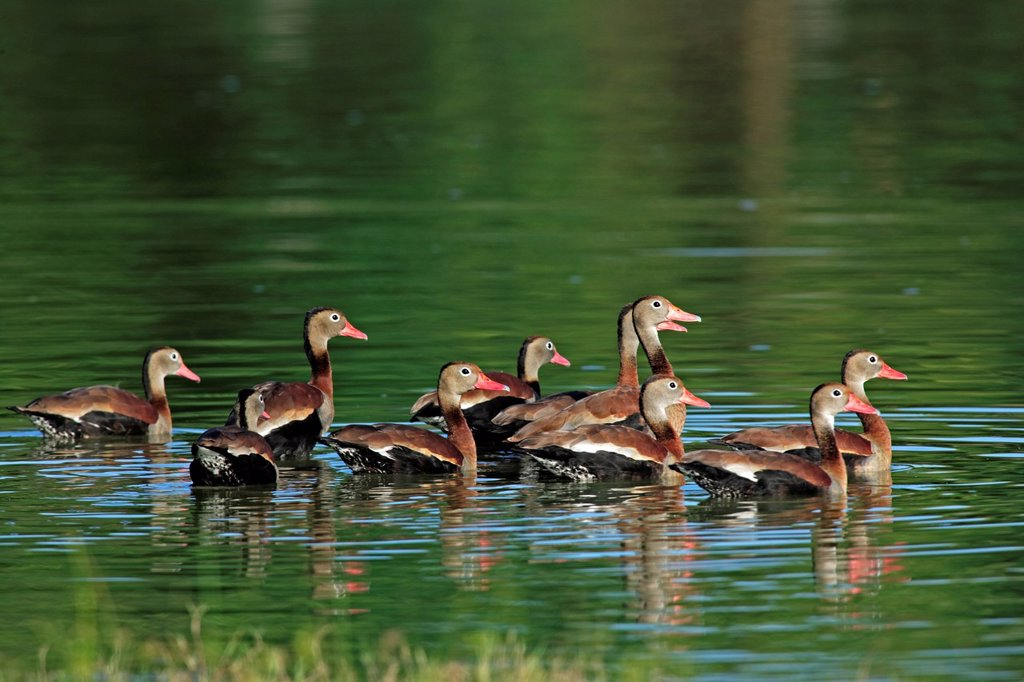 Black_Bellied Whistling Duck,Dendrocygna autumnalis,Pantanal,Brazil. Black_Bellied Whistling Duck,Dendrocygna autumnalis,Pantanal,Brazil,adults,group,at water,South America : Stock Photo