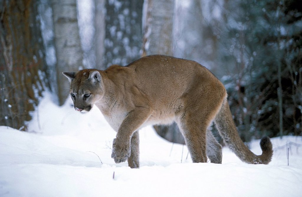 Stock Photo: 4133-3116 Mountain Lion,Felis concolor,Montana,USA