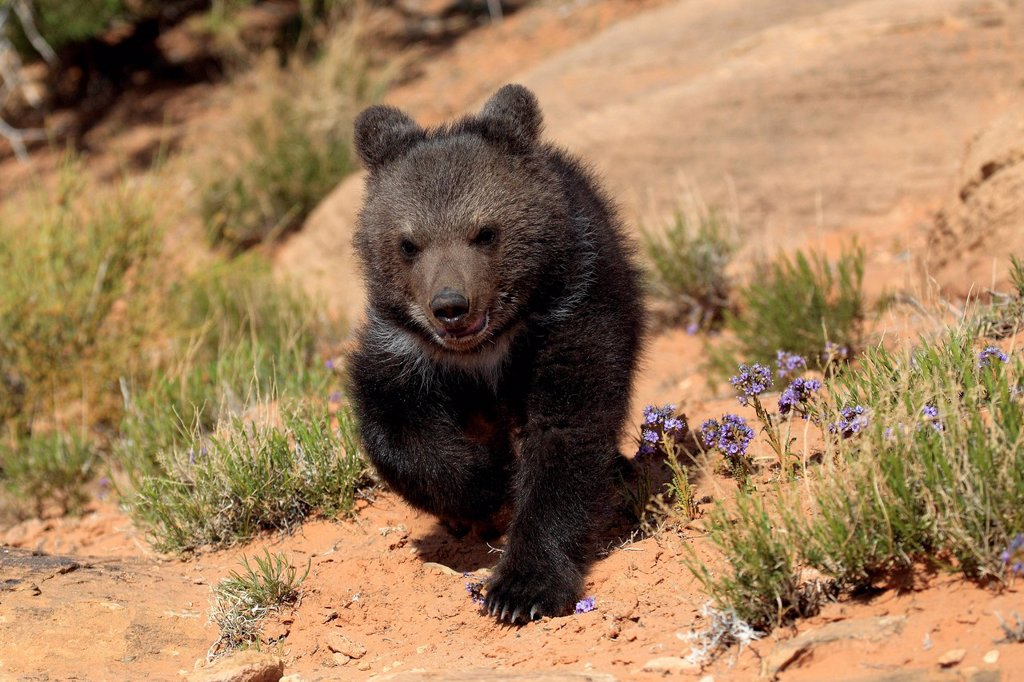Grizzly Bear, Ursus arctos horribilis, Monument Valley, Utah, USA. Grizzly Bear, Ursus arctos horribilis, Monument Valley, Utah, USA, three month old : Stock Photo