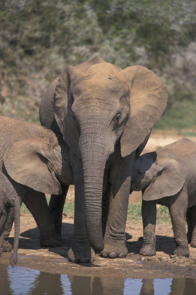 Stock Photo: 4133-3144 African Elephant , Loxodonta africana , Addo Elephant National Park , South Africa , Africa