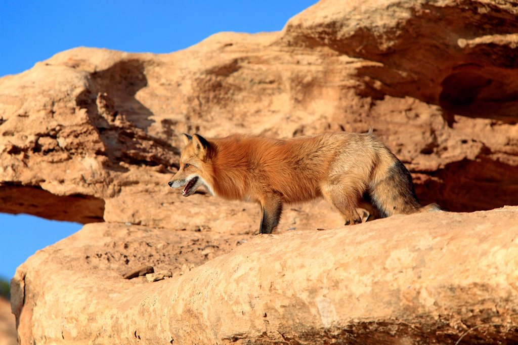 Red Fox, Vulpes vulpes, Monument Valley, Utah, USA. Red Fox, Vulpes vulpes, Monument Valley, Utah, USA, adult alert : Stock Photo