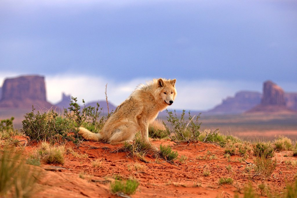Gray Wolf, Timber Wolf, Canis lupus, Monument Valley, Utah, USA, North America. Gray Wolf, Timber Wolf, Canis lupus, Monument Valley, Utah, USA, North America, adult : Stock Photo
