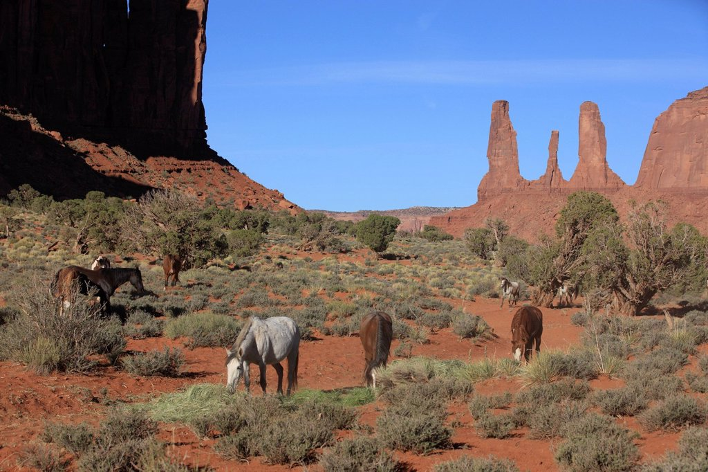 Mustang, Equus caballus, Monument Valley, Utah, USA, Northamerica. Mustang, Equus caballus, Monument Valley, Utah, USA, Northamerica, group : Stock Photo