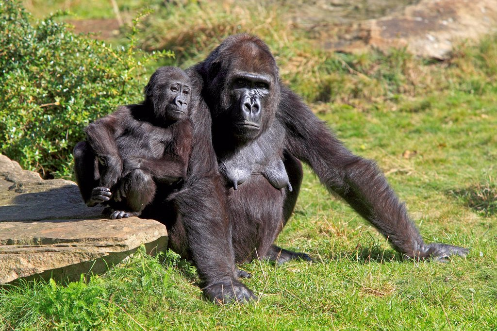 Lowland Gorilla,Gorilla gorilla, Africa, adult female with young : Stock Photo