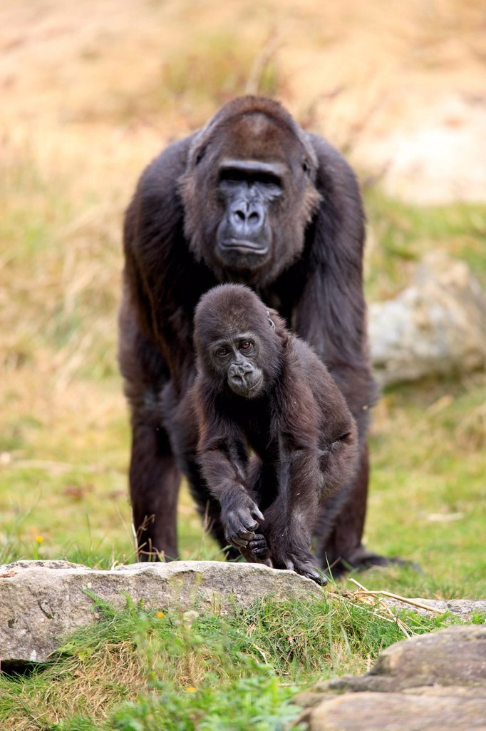 Stock Photo: 4133-32467 Lowland Gorilla,Gorilla gorilla, Africa, adult female with young