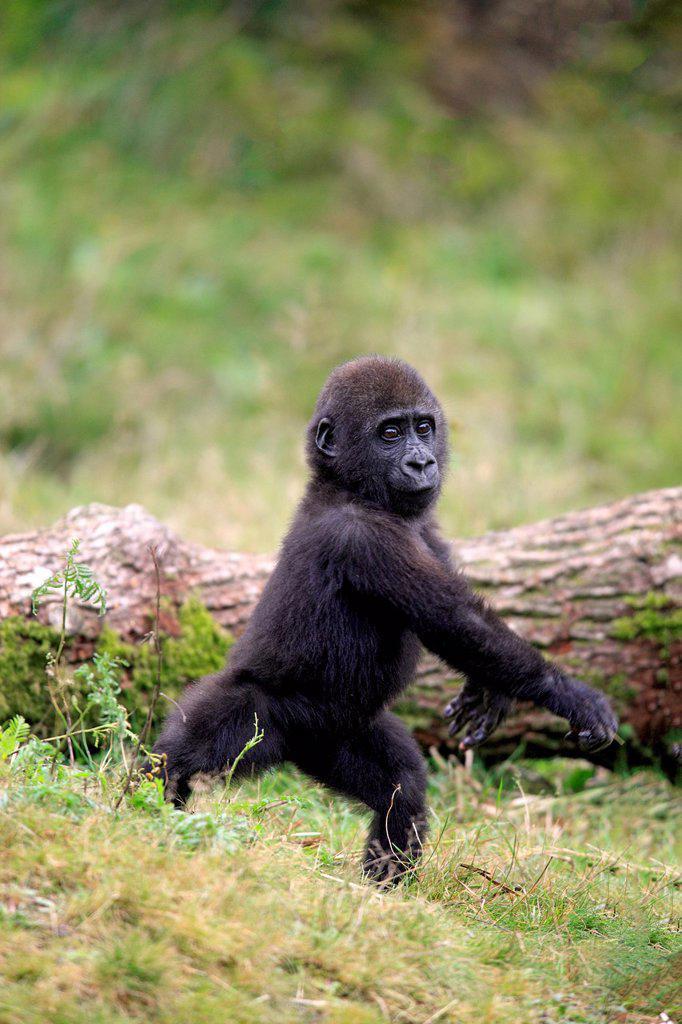 Lowland Gorilla,Gorilla gorilla, Africa, young activ : Stock Photo