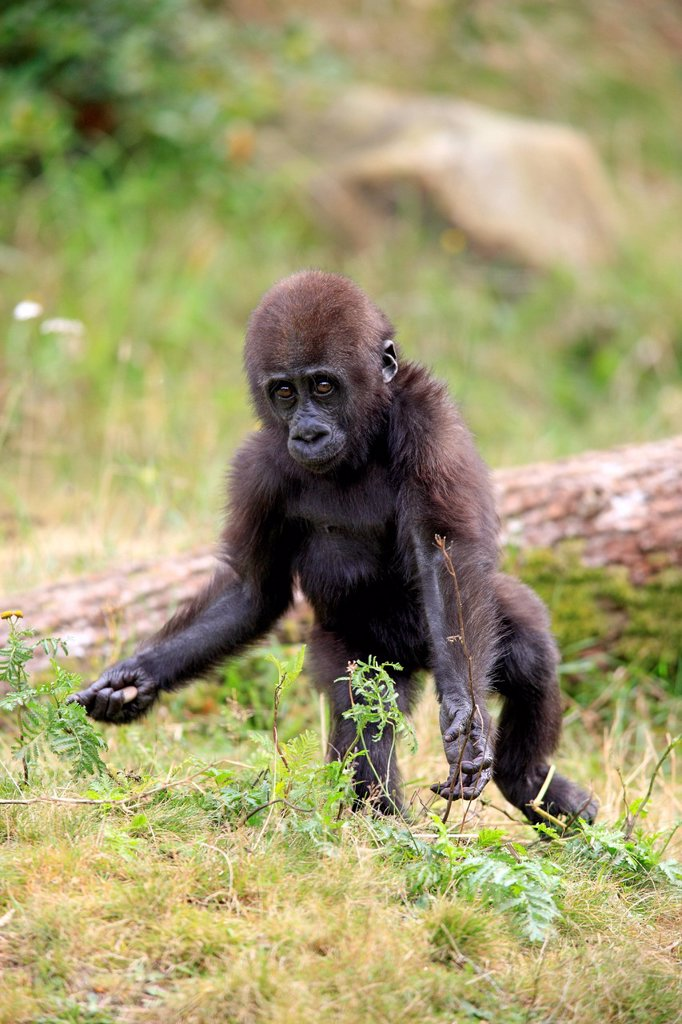 Stock Photo: 4133-32532 Lowland Gorilla,Gorilla gorilla, Africa, young