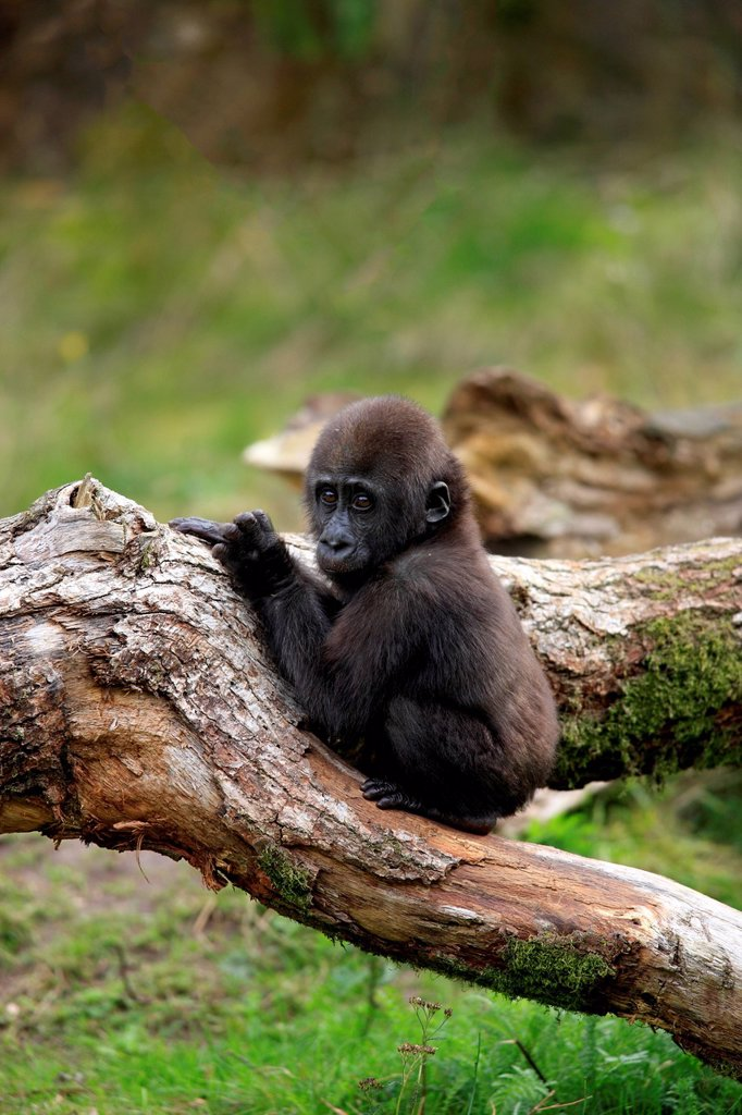 Stock Photo: 4133-32540 Lowland Gorilla,Gorilla gorilla, Africa, young
