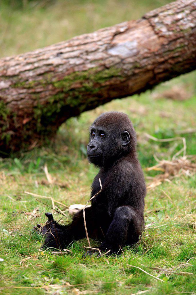 Lowland Gorilla,Gorilla gorilla, Africa, young : Stock Photo