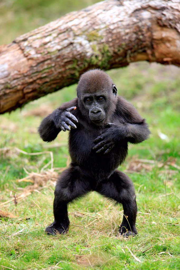 Stock Photo: 4133-32550 Lowland Gorilla,Gorilla gorilla, Africa, young clapping hands
