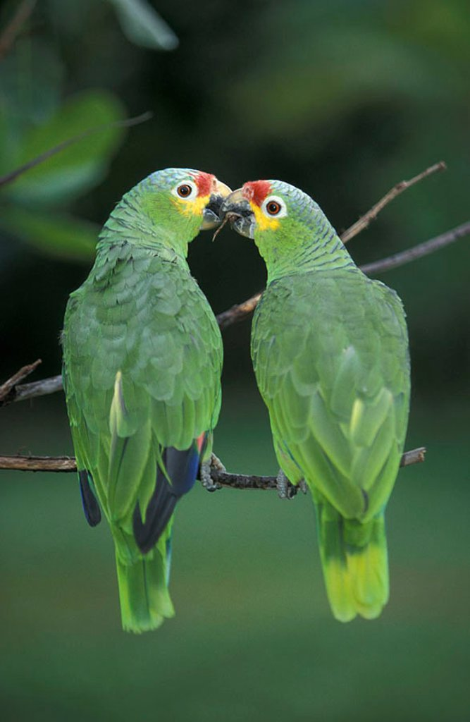 Stock Photo: 4133-3323 Yellow naped Amazon Amazona auropalliata South America