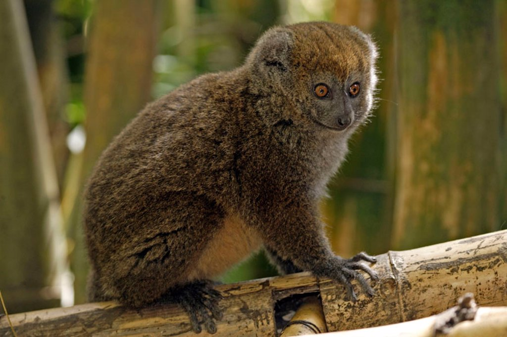 Grey bamboo lemur, Hapalemur griseus, Madagascar : Stock Photo