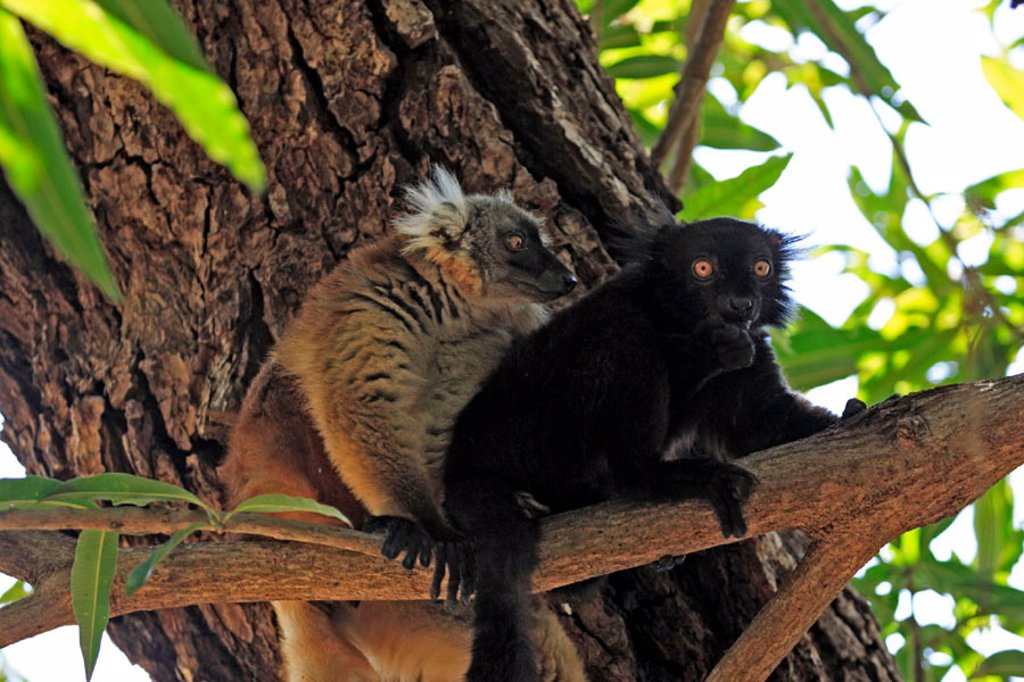 Black Lemur, Lemur macaco, Nosy Komba, Madagascar : Stock Photo