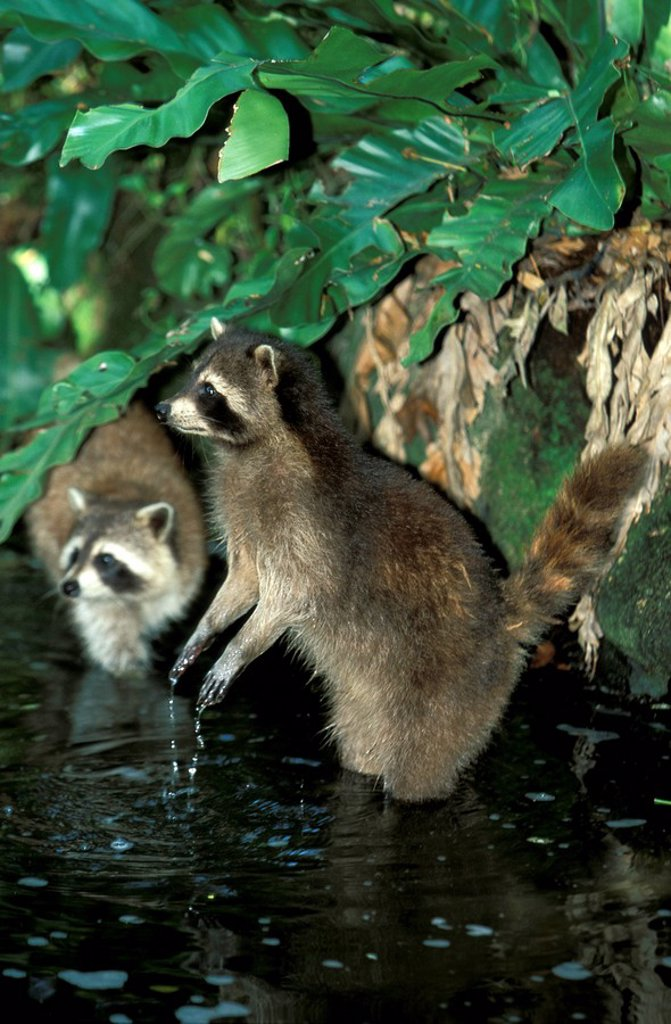 Stock Photo: 4133-3701 North American Raccoon,Procyon lotor,North America