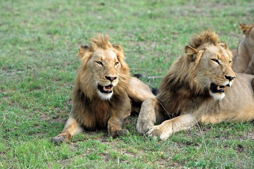 Stock Photo: 4133-3795 Lion,Panthera leo,Kruger National Park,Sabisabi Private Game Reserve,South Africa