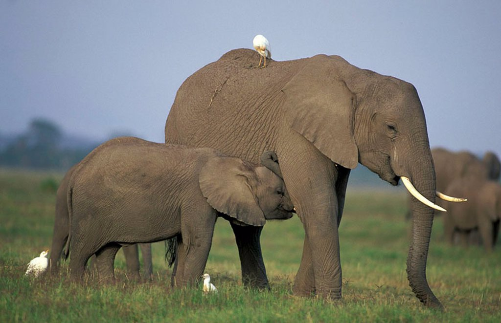 Stock Photo: 4133-3863 African Elephant Loxodonta africana Amboseli Nationalpark Kenya Africa
