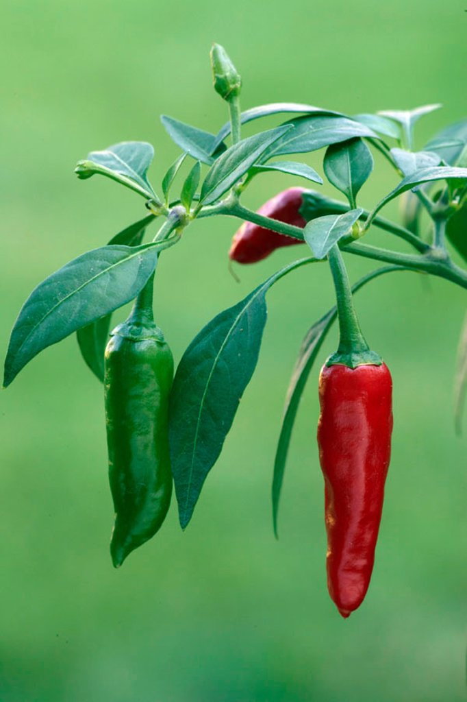 Stock Photo: 4133-3934 Hot Chili Capsicum annuum Germany Europe