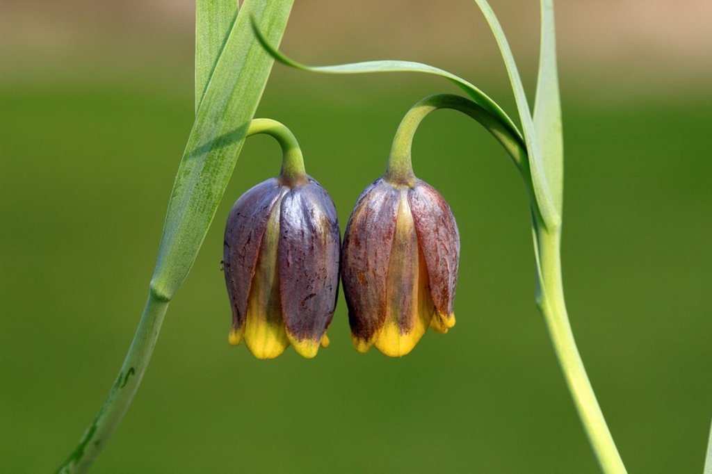 Stock Photo: 4133-3944 Michailovski fritillary,Fritillaria michailovskyi,Ellerstadt,Germany,Europe