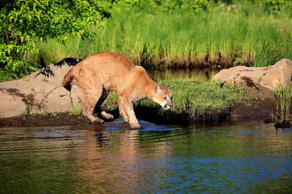 Stock Photo: 4133-4002 Mountain Lion,Felis concolor,Minnesota,USA