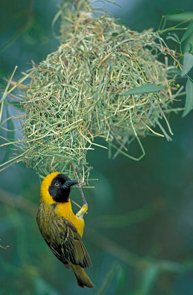 Stock Photo: 4133-4107 Lesser Masked Weaver Ploceus intermedius Pilanesberg NP South Africa