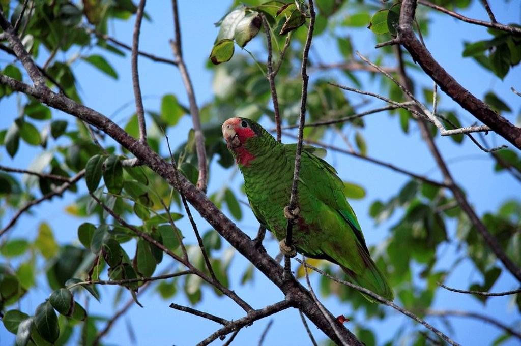 Stock Photo: 4133-4237 Cayman Parrot,Rose Throated Amazon Parrot,Amazona leucocephala caymanensis,Cayman Islands,Grand Cayman
