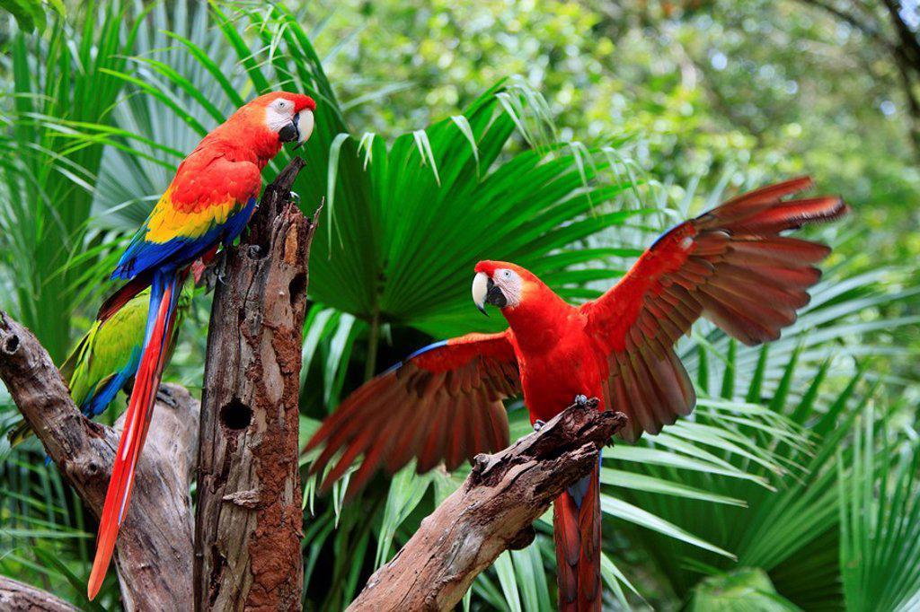 Stock Photo: 4133-4259 Scarlet Macaw,Ara macao,Roatan,Honduras,Caribbean,Central America,Latin America