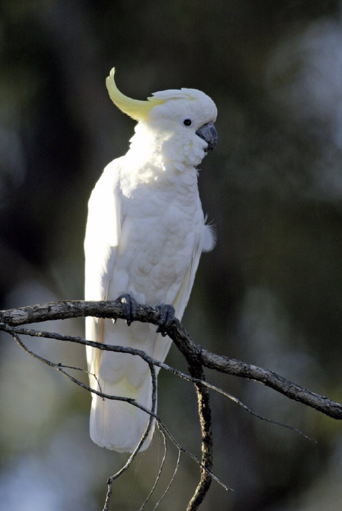 Stock Photo: 4133-4643 Sulfur-crested Cockatoo Cacatua galeriata Australia