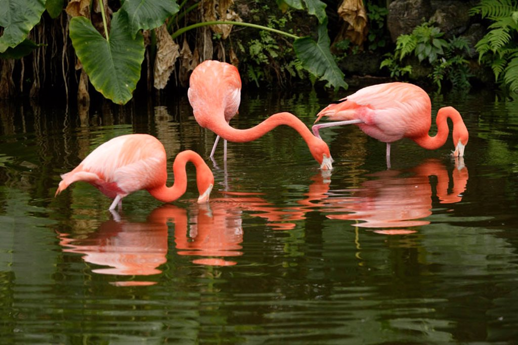 Stock Photo: 4133-4646 American Flamingo, Phoenicopterus ruber ruber, South America, Latin America
