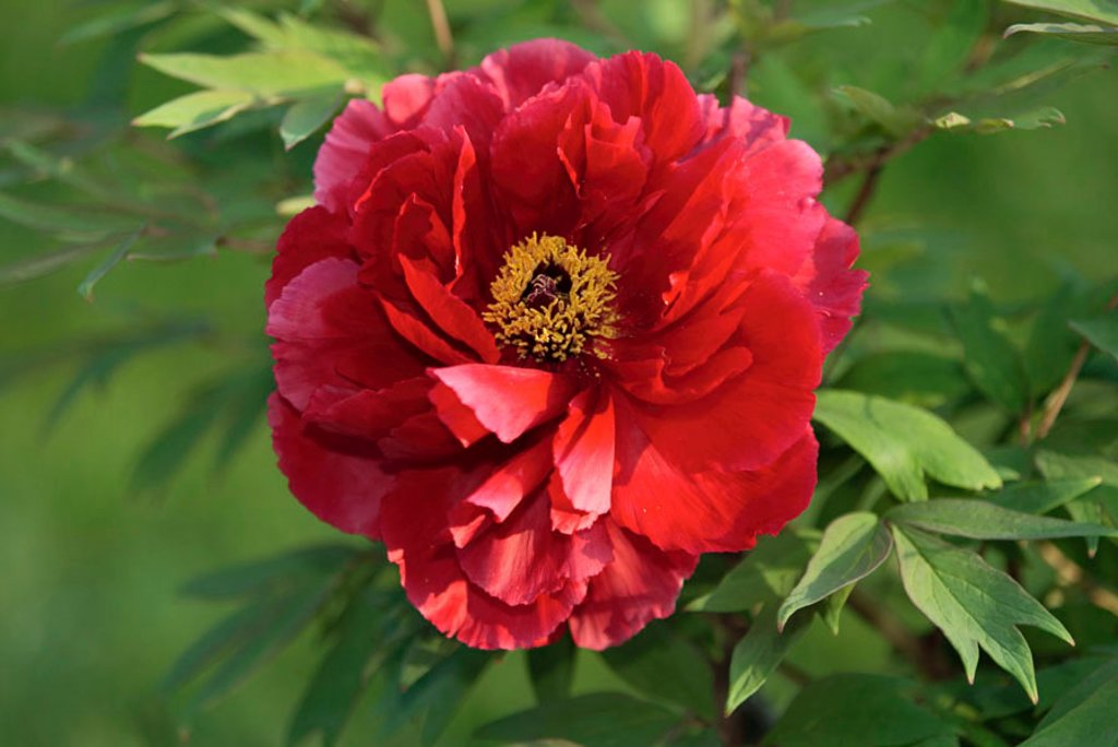 Stock Photo: 4133-4767 Common Peony Paeonia officinalis Germany Europe