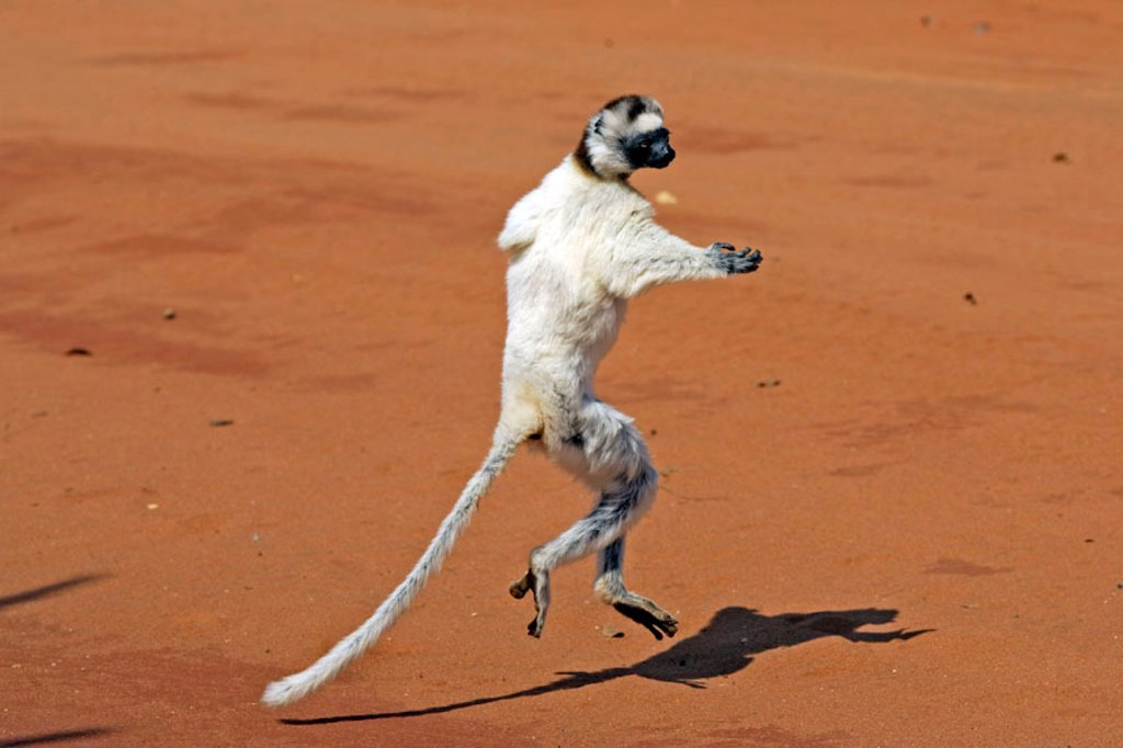 Verreaux`s Sifaka, Propithecus verreauxi coronatus, Berenty Game Reserve, Madagascar : Stock Photo
