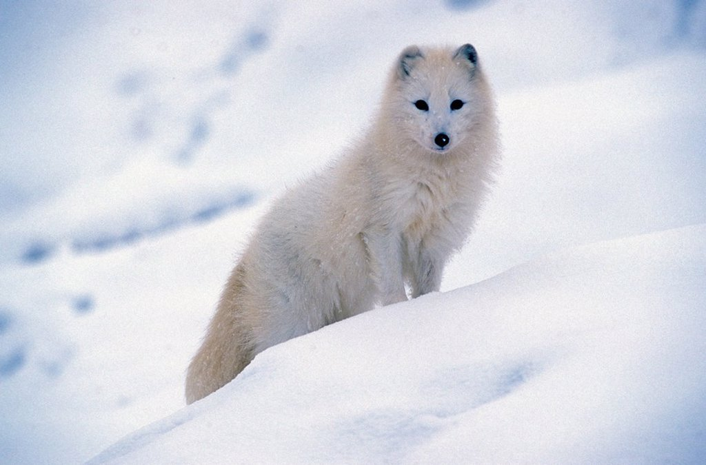 Stock Photo: 4133-4893 Arctic Fox,Alopex lagopus,Montana,USA