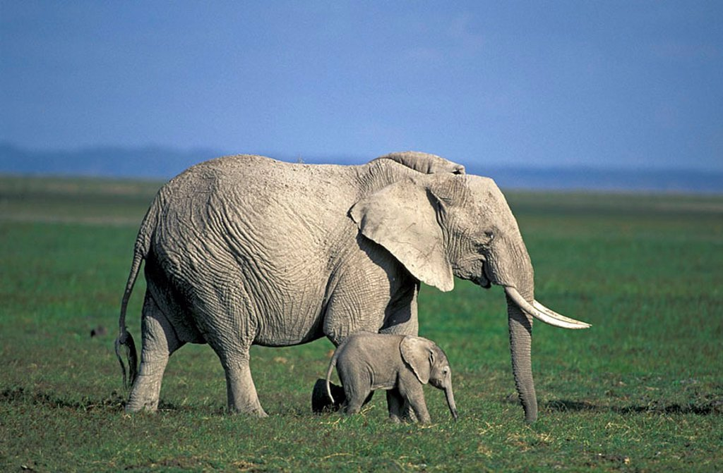 Stock Photo: 4133-5070 African Elephant Loxodonta africana Amboseli Nationalpark Kenya Africa