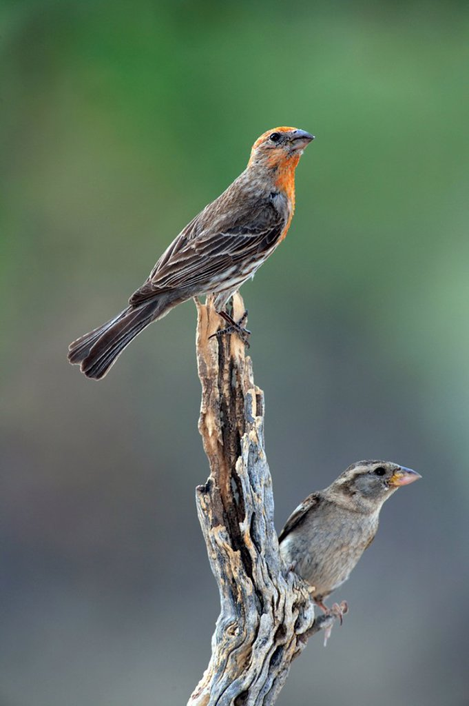 Stock Photo: 4133-5242 House Finch,Carpodacus mexicanus,Sonora Desert,Arizona,USA