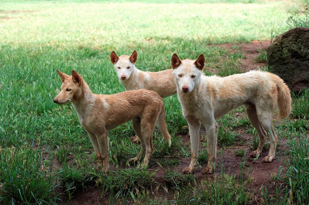 Stock Photo: 4133-5436 Dingo,Canis familiaris dingo,Australia
