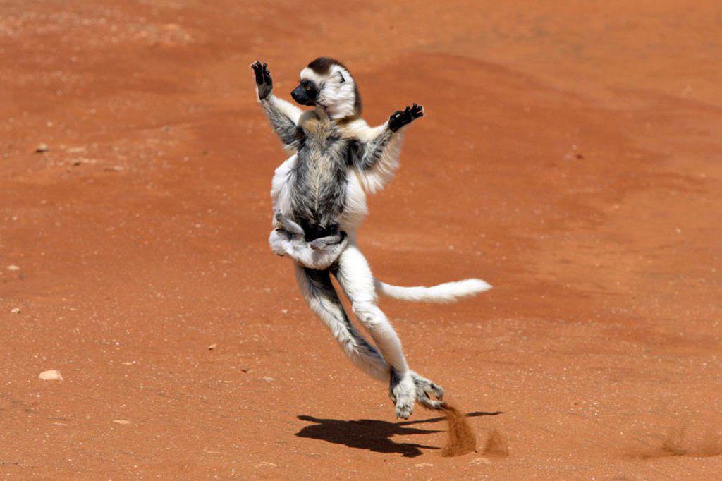 Stock Photo: 4133-5586 Verreaux`s Sifaka, Propithecus verreauxi coronatus, Berenty Game Reserve, Madagascar