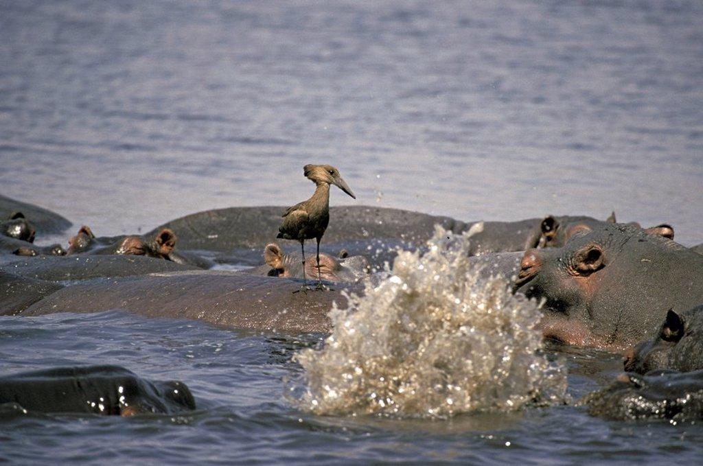 Hammerkop,Scopus umbretta,Chobe Nationalpark,Botswana,Africa : Stock Photo