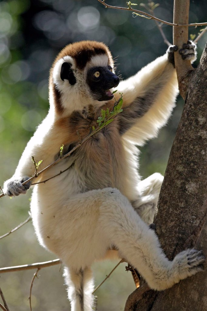Stock Photo: 4133-5804 Verreaux`s Sifaka, Propithecus verreauxi coronatus, Berenty Game Reserve, Madagascar