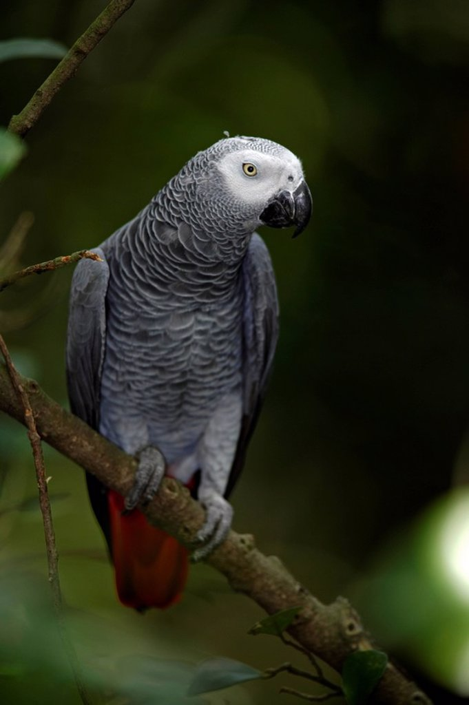 Stock Photo: 4133-5844 Grey Parrot,Psittacus erithacus timneh,West Africa,Central Africa