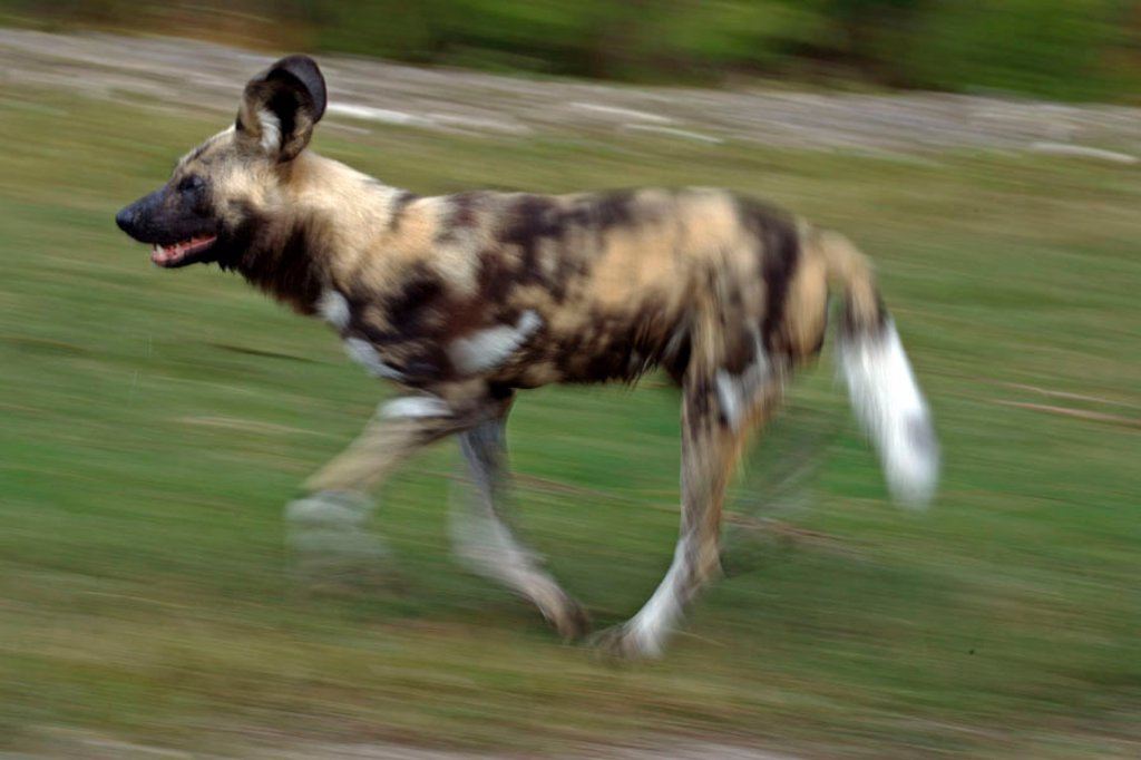 African Wild, Dog Lycaon pictus, Africa : Stock Photo