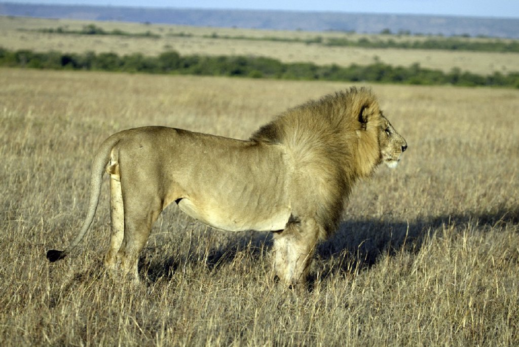 Stock Photo: 4133-6385 Lion, Panthera leo, Masai Mara, Kenya
