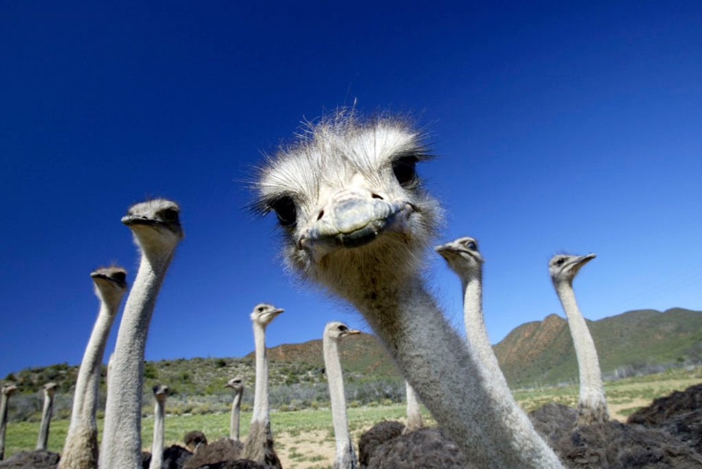 Stock Photo: 4133-6648 South African Ostrich Struthio camelus australis Karoo South Africa Africa