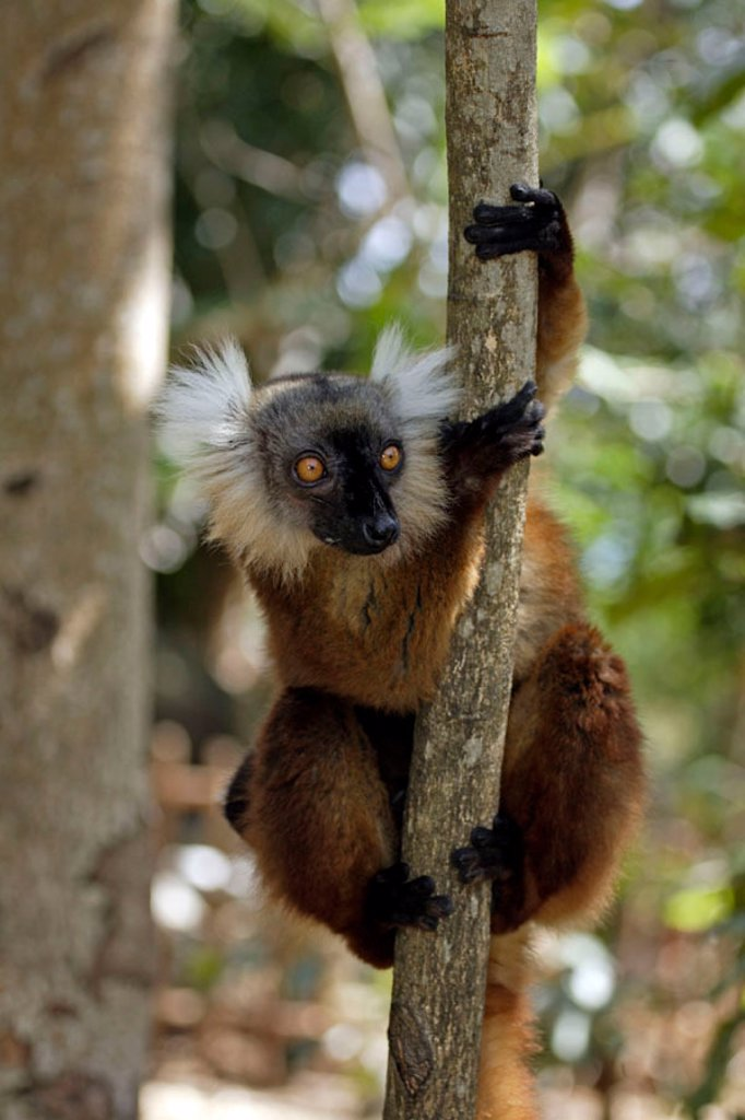 Stock Photo: 4133-6837 Black Lemur, Lemur macaco, Nosy Komba, Madagascar