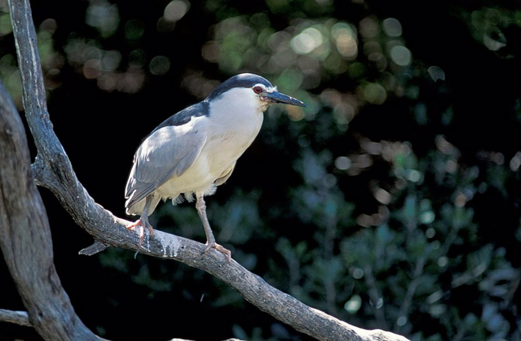 Night Heron Nycticorax nycticorax South Africa : Stock Photo